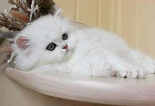 Gorgeous Persian Kittens Ready For Sale Now