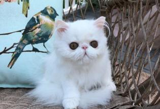 Adorable Persian Babies For sale