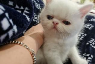 Adorable persian male left