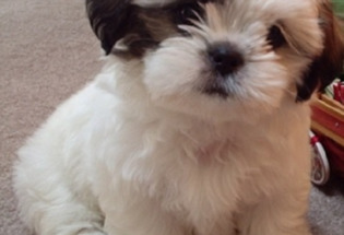 Potty Trained Shih Tzu puppies (469) 900-1807.
