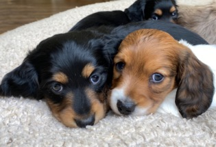 Healthy And Adorable Beautiful Dachshund Puppies For Adoption.