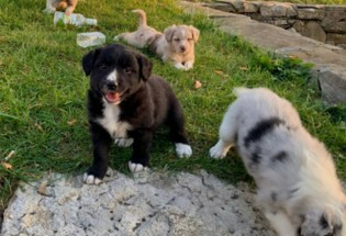 Male and Female Australian Shepherd Puppies For Adoption.