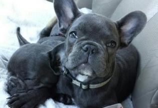 AKC French Bulldog Puppies Now Available. Text/Call (469) 900-1807