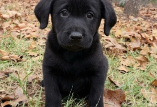 Akc Reg Labrador Retriever Puppies For Adoption (469) 900-1807...