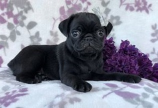 Beautiful male and female Pug Puppies (469) 900-1807.