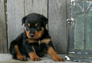Exceptional Litter Of Registered Rottweiler Puppies For Sale.