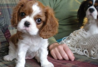 Cute male and female Cavalier King Charles Spaniel puppies
