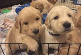Lovely Golden Retriever Babies Ready