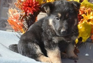Beautiful Litter of 8 AKC German Shepherd Puppies Available.