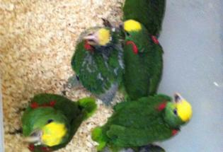 Hand Feedb Amazon Parrot chicks ready for new homes