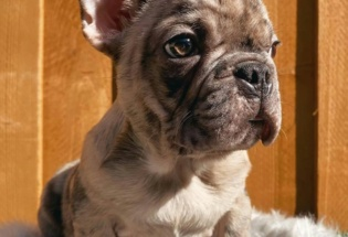 French Bulldog litters set to go . Good homes only