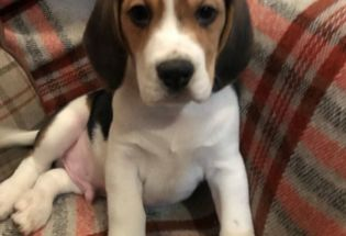 Cute Beagle  Puppies Available