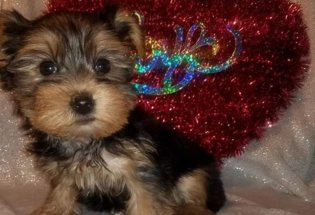 Yorkie puppies ready