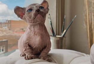 Brilliant Spyhnx Kittens For Sale