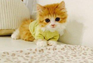 Munchkin kittens for sale, Munchkin cat for sale