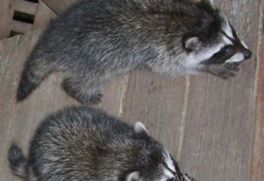 Raccoon Puppies Available
