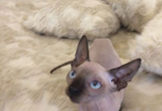 Sphynx, Sphynx, cats, for Sale, Price