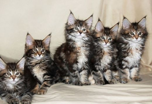 maine coon buy maine coon kitten from russia cats buy