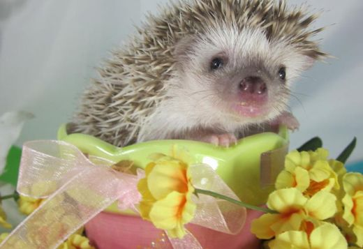 Come see the Softer side of Hedgehogs