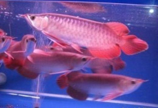 supper red Arowana fish available in stock... Preston