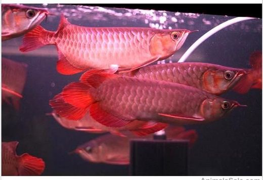 We supply best quality arowana fishes of all kinds, e.g text at (505)3