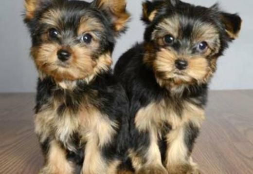 Yorkshire Terrier Male And Female Yorkie Puppies Available Dogs