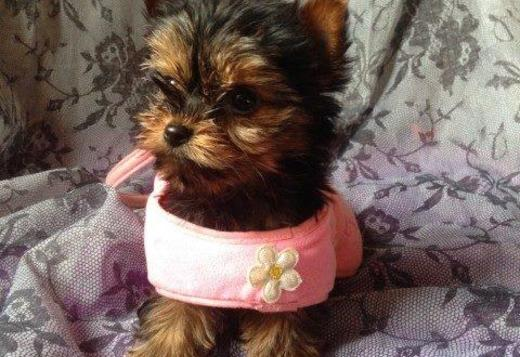 Adorable yorkie with AKC