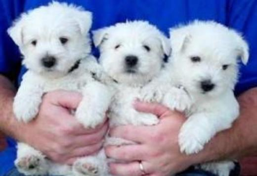 West Highland White Terrier West Highland Terrier Puppies.