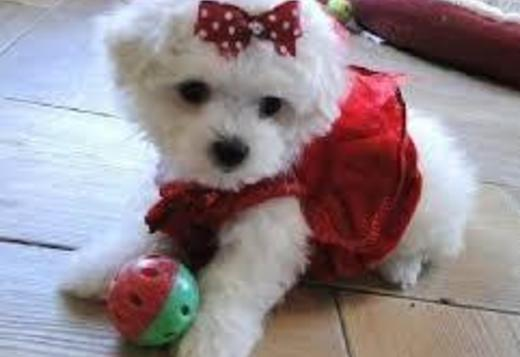 Maltese Fantastic Teacup Maltese Puppies