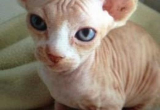 Sphynx, Bold and Wrinkly Sphynx Kittens, cats, for Sale, Price