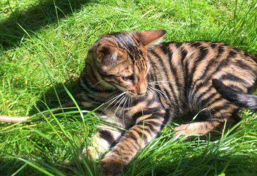 Sphynx Rosetted Toyger Kittens Available