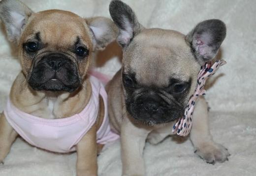 French Bulldog male and female french bulldog for sale