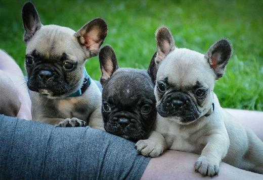 French Bulldog French Bulldog puppies for sale cheap