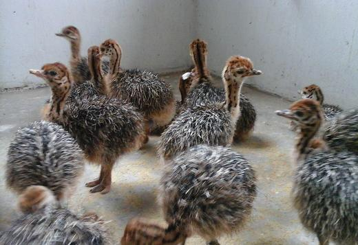 OSTRICH CHICKS AND JUVENILE FOR SALE