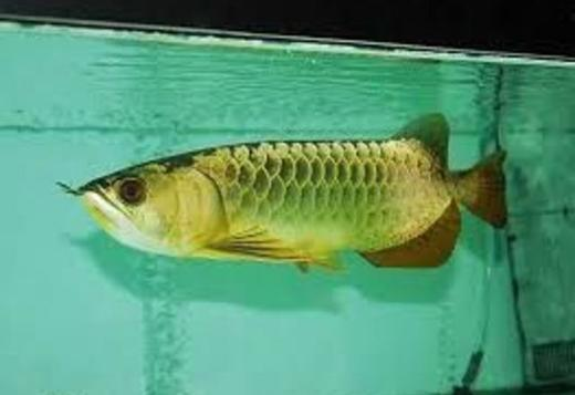24K Golden Arowana Fish For Sale (760) 5