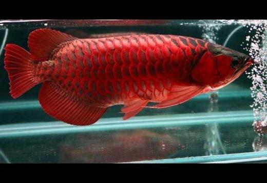 Top Quality Super Red Arowana Fish For S