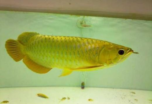 Golden Arowana(blue based) For Sale (760