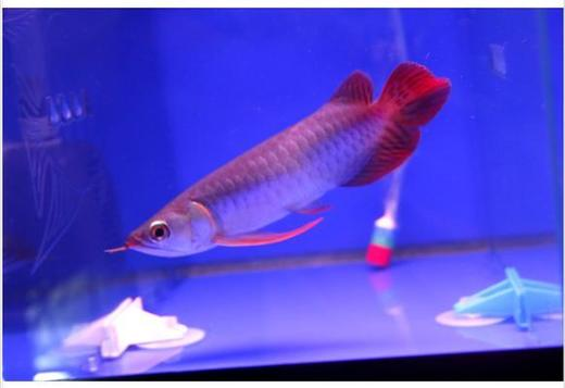 Super Red Arowana Fish For Sale and Many