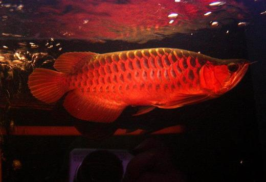 Asian Arowana Fish For Sale(760) 585-765