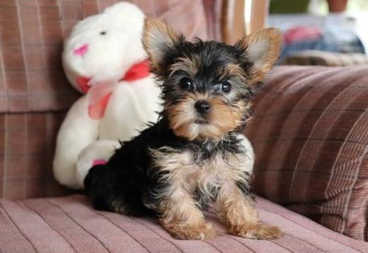 Teacup Yorkies For Adoption These Xmas