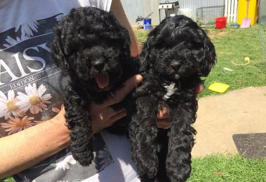 Poodle Stunning All Black Toy Poodles Ready To