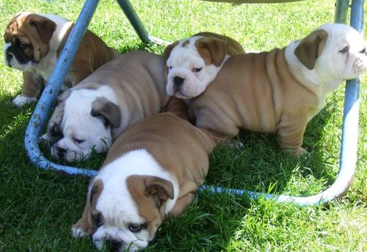 Olde English Bulldogge ENGLISH BULLDOG FOR SALE