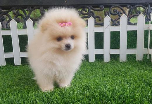 Pomeranian pomeranian pups available for sale
