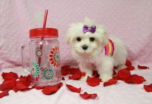Maltese Teacup Maltese Puppies Seeking Urgent Homes