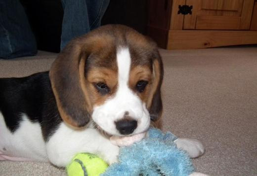 Beagle Beagles Puppies