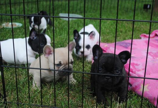 French Bulldog French Bulldog Puppies