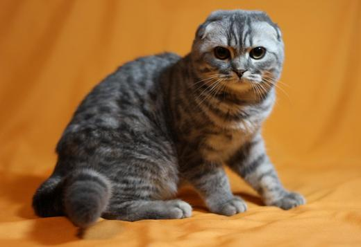 Scottish Fold Excellent Blue Tabby Scottish Fold Kitten