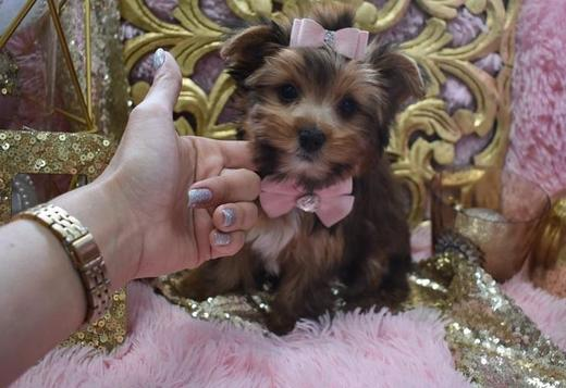 Yorkshire Terrier Purebred Tiny Yorkie Puppies