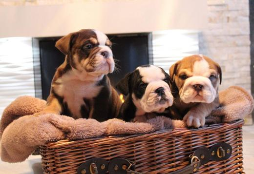 French Bulldog English and french bulldog for sale