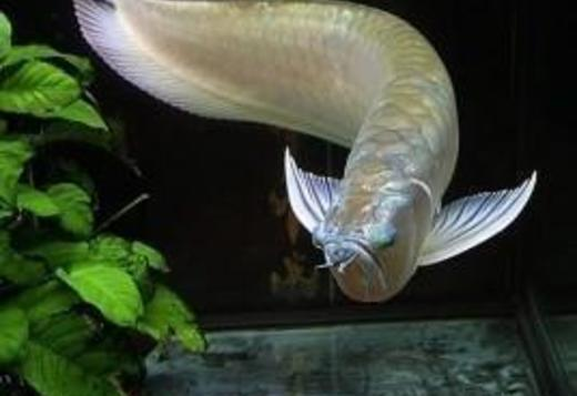Super red, Asian red, 24k golden Arowana fishes